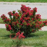 Weigela 'Sonic Bloom®' Red PP25132