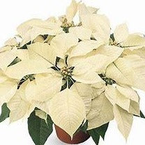 6.5 inch Seasonal White Poinsettia