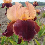 Darwin German Iris Cimarron Strip