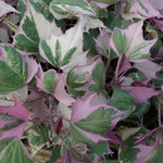 Ipomoea Sweet Potato Vine 'Tri-Color'