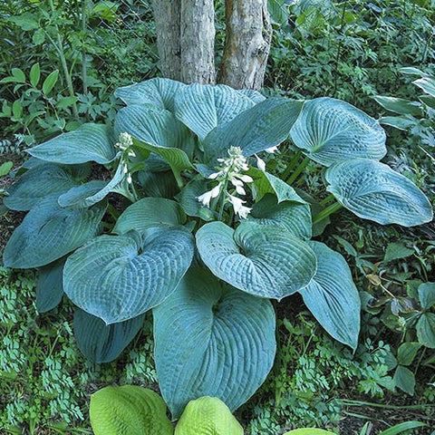 Hosta 'Blue Umbrellas' (Plantain lily)