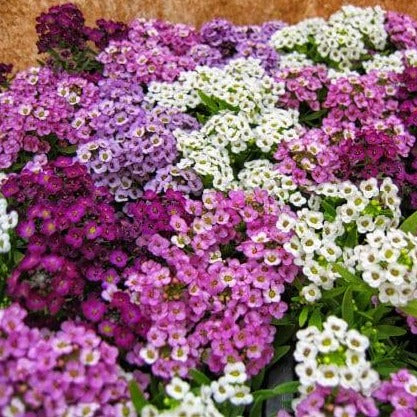 Alyssum Easter Bonnet Mix