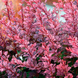 Berberis Rosy Glow Japanese Barberry