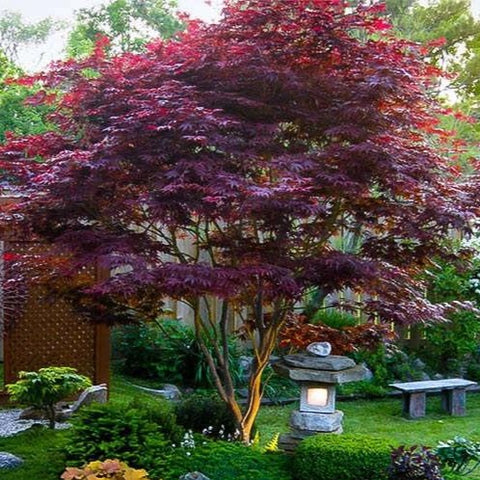 Acer 'Red-Leaf Japanese Maple' Tree