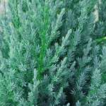 Juniperus 'Blue Point' Spiral