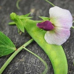PBN Pea Sugar 'Snow Dwarf Grey'