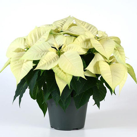 4.5 inch Poinsettia White