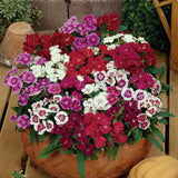 Dianthus 'Ideal Select' Mix