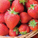June Bearing Honeoye Strawberry