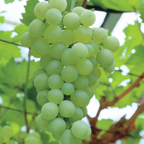 Vitis Niagara Seedless Grape Vine