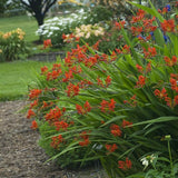 Crocosmia 'Lucifer' (Sword Lily)