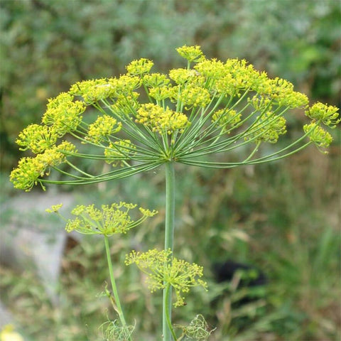 Anethum Dill 'Mammoth'