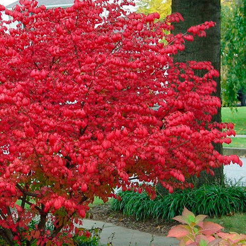 Euonymus alatus 'Little Moses' (Burning Bush)