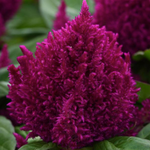 Celosia plumosa First Flame™ Red