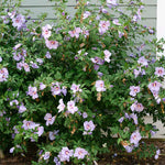 Athea 'Azurri' Blue Satin®(Rose of Sharon)