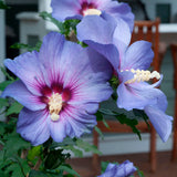 Hibiscus 'Azurri' Blue Satin®  (Rose of Sharon)