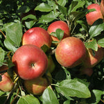 Malus 'Honey Crisp' Apple Tree