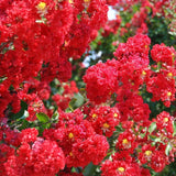 Lagerstroemia CrapeMyrtle 'Dynamite®' PP10296 (Large)