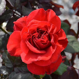Rosa Hybrid Tea Legends™ Rose PP21816