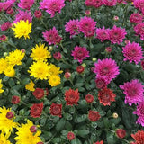 "3-Color Hardy Mum 12"" Planter"