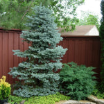 Picea pungens 'Colorado Blue' Spruce