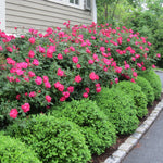 Rosa Shrub Knock Out® Double Red Rose