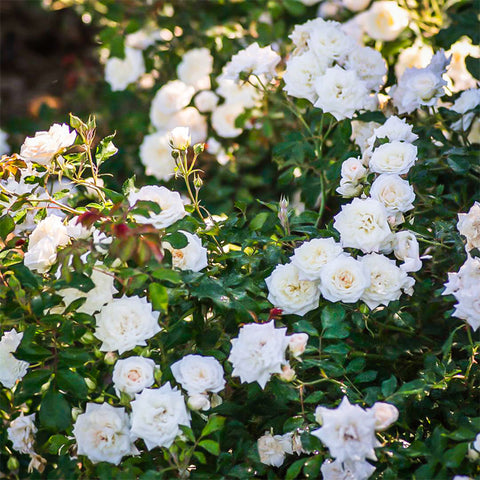 Rosa Drift® White Ground-cover Rose