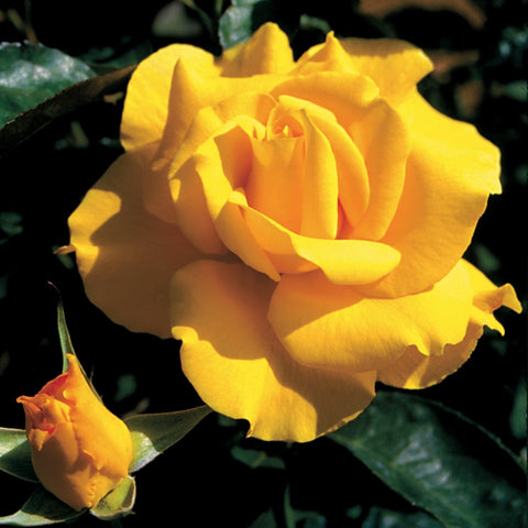Rosa Hybrid Tea Midas Touch™ Rose