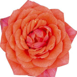 Rosa Miniature Parade® Series Rose