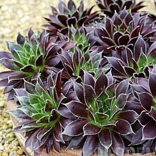 Sempervivum 'Black' (Hens & Chicks)
