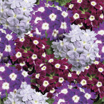 Verbena Obsession™ Series