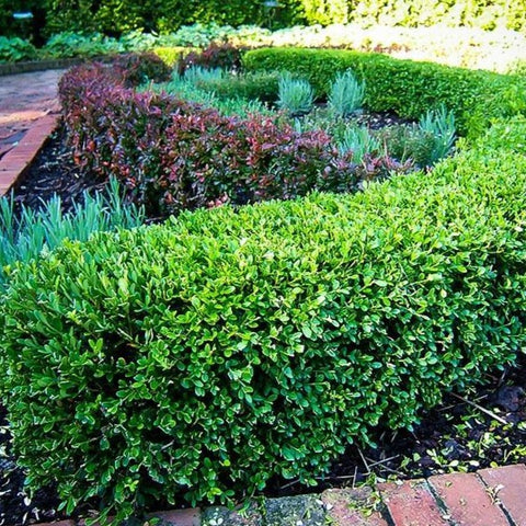 Buxus 'Wintergreen' Boxwood