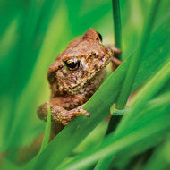 Wildlife Trust Common Toad Greeting Card