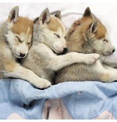 Husky Puppies Snuggle Up Image Blank Card