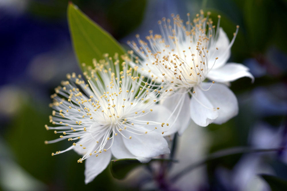 Myrtle Flowers are Symbols of Love