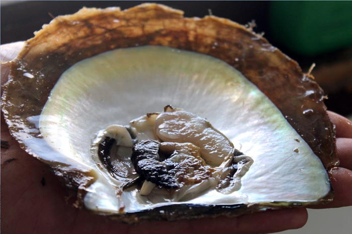 a pearl oyster chosen as tissue donor