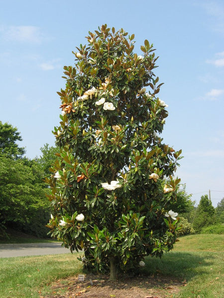 Southern Magnolia Pet Sympathy Gift Tree By The Magnolia Company