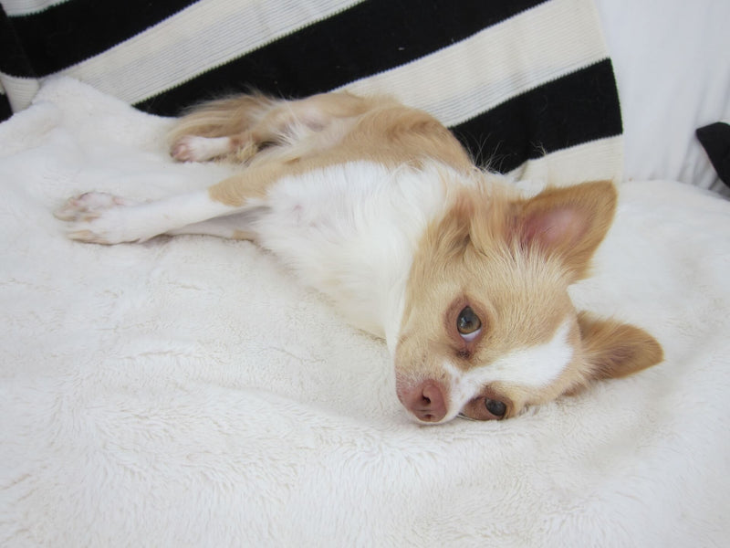 Easiest Ways of Maintaining Cleanliness of Your Chihuahua Dog