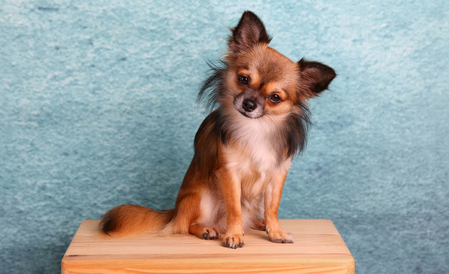 How smart is the Chihuahua Dog?