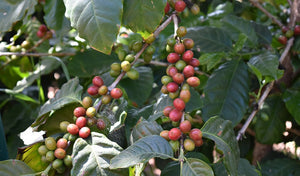 Growing Coffee on the Frinj