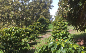 Coffee grown in San Diego? Local farm preps for first ever harvest