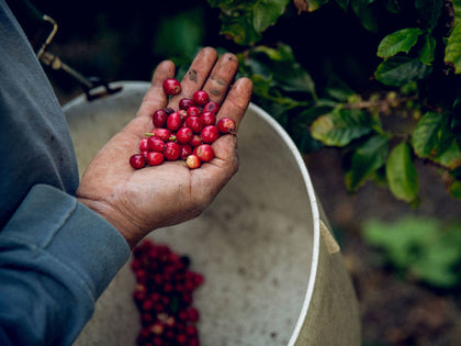 Eureka! California-Grown Coffee Is Becoming The State's Next Gold Mine