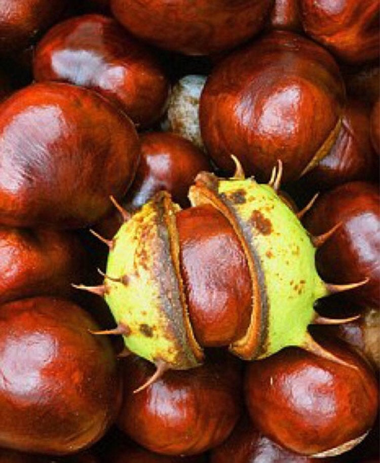 Conkers • Buckeye • horse chestnut • natural curio • witchraft supplies • spider repellant