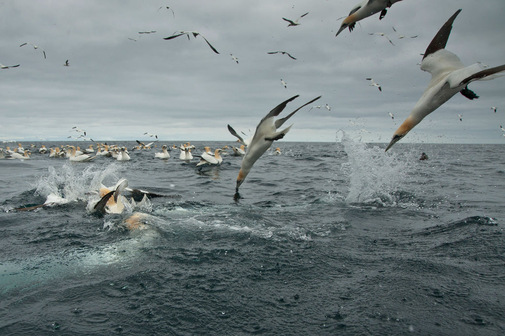 Richard Shucksmith - Gannets feeding in the Shetland Islands