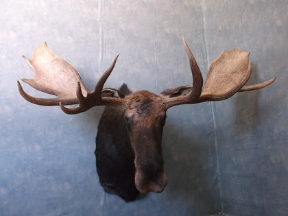 Moose Mounts