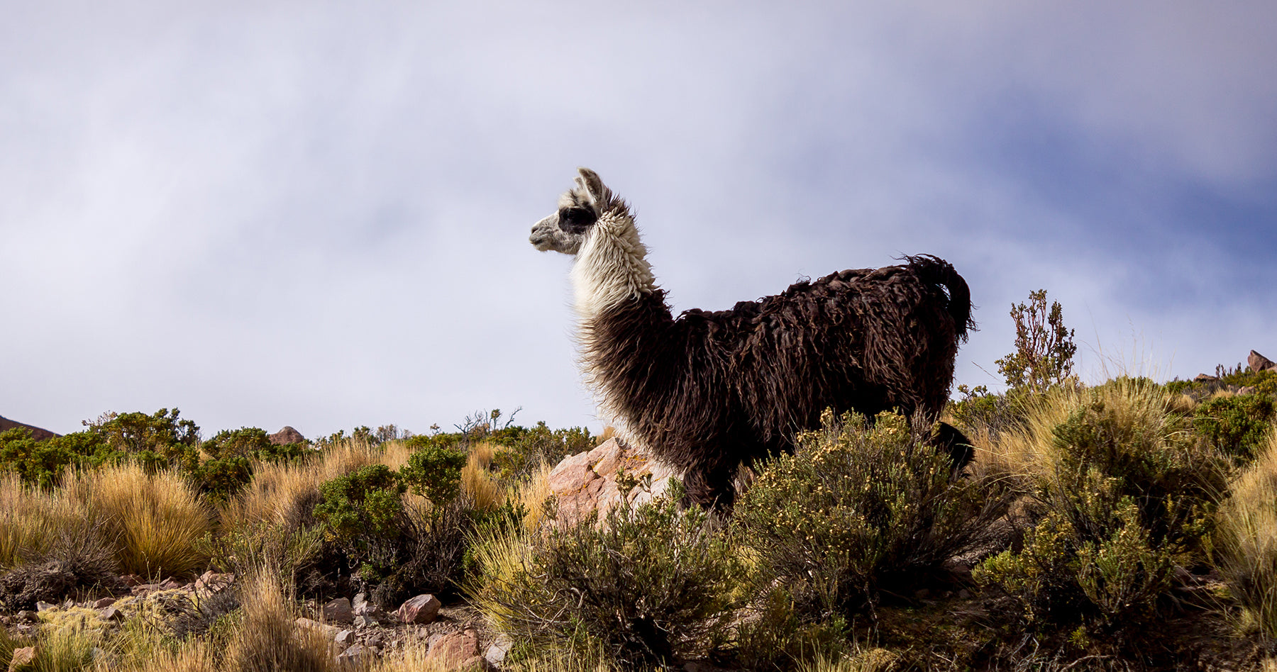 Bolivian Alpaca on the background of blue clouds South America