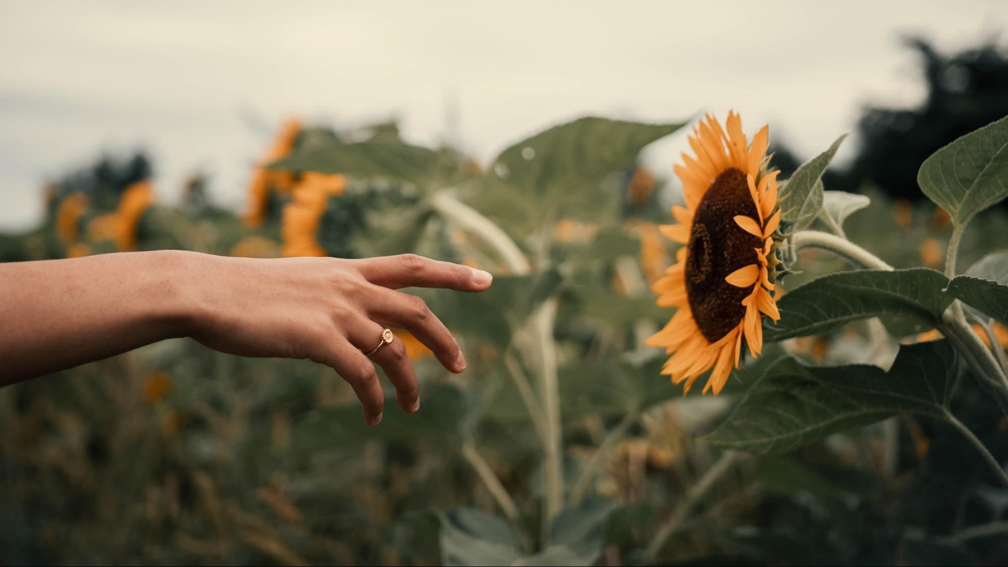 A hand wearing a ring from Nominal backdropped against a field of sunflowers.