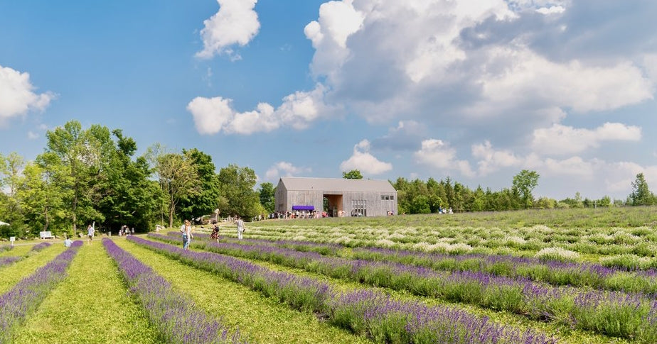 The fields of lavender at Terre Bleu.