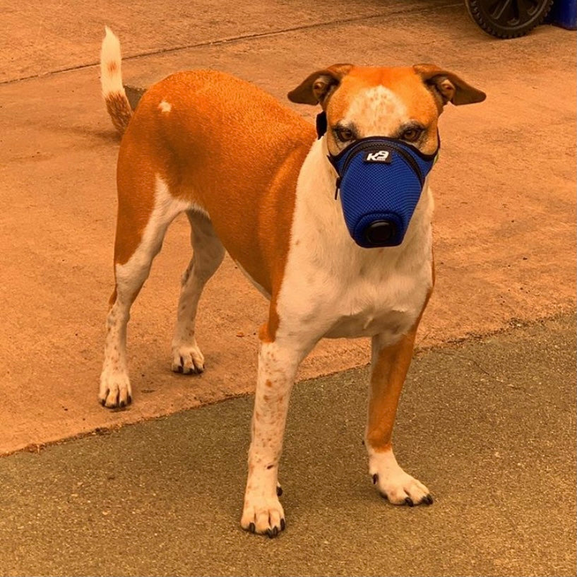 A brown and white dog in a blue mask by K9 Mask.