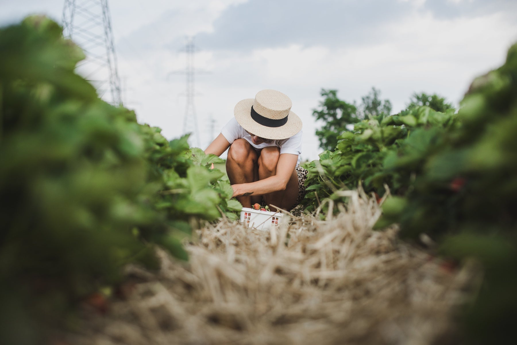 A woman crouches to pick strawberries in a field